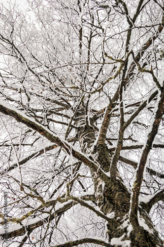 branches of a birch tree covered with snow in winter forest - 244464165