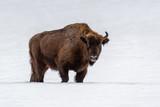 European bison (Bison bonasus) in natural habitat