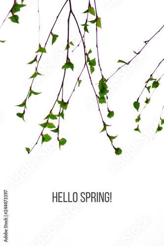 Spring birch branches on white background - 244473397