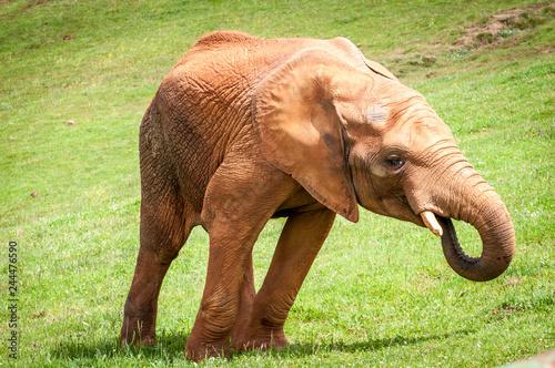 Poster Elefantes comiendo hierva en el prado sabana cabárceno aficano