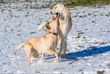 Hunde spielen im Schnee - 244478973