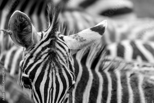 Cebras rayas pelaje cáos sabana pelo blanco y negro - 244482908