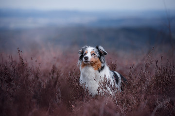 dog in a flowering Heather on the field. Australian shepherd in nature. holiday photos of your pet outside