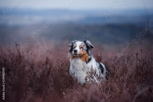 dog in a flowering Heather on the field. Australian shepherd in nature. holiday photos of your pet outside - 244485514