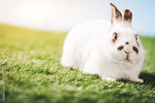 Poster White rabbit laying on green grass.