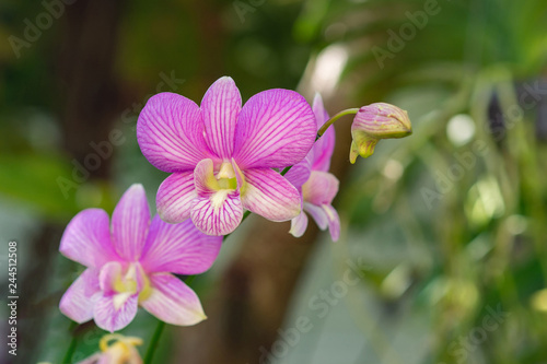 Close-up of Phalaenopsis orchid. Beautiful orchids. - 244512508