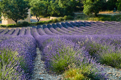 Field of lavender in France, Valensole, Cote Dazur-Alps-Provence, a lot of flowers, panorama, perspective, mountains on background