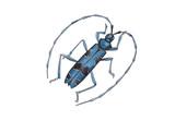 Watercolor illustration of blue beetle.