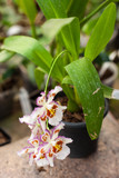 Fototapeta Storczyk - Close up of Dancing Lady orchid (Oncidium Varicosum, Oncidium Goldiana) © brizmaker