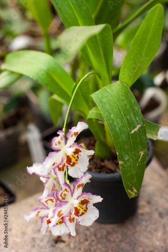 Close up of Dancing Lady orchid (Oncidium Varicosum, Oncidium Goldiana) - 244536343