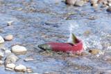 salmon fish spawning close-up