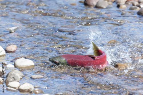 salmon fish spawning close-up - 244537190