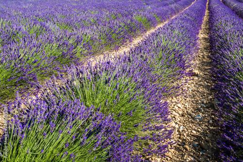 Lavender fields near Valensole, Provence, France - 244545509