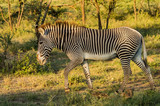 Fototapeta Sawanna - Isolated zebra walking in the savannah of Samburu Park © Demande Philippe