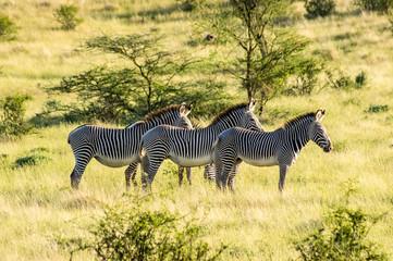 Isolated zebra walking in the savannah of Samburu Park
