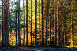 Fototapeta Na ścianę - Coniferous forest illuminated by the morning sun on a spring day. © serawood