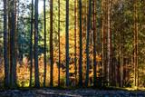 Fototapeta Fototapety na ścianę - Coniferous forest illuminated by the morning sun on a spring day. © serawood