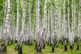 Image with birch forest. - 244557931