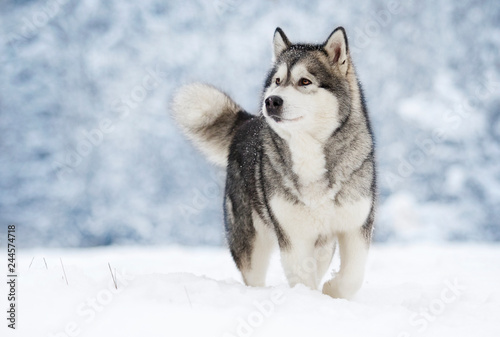 Leinwandbild Motiv Alaskan Malamute dog on a winter