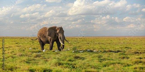 Single African bush elephant (Loxodonta africana) walking on savanna, white heron birds at its feet. © Lubo