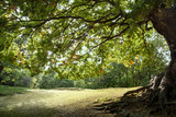 Ancient Mighty Oak Tree with Exposed Tangled Roots - Epping Forest Background, Loughton , London - 244577758