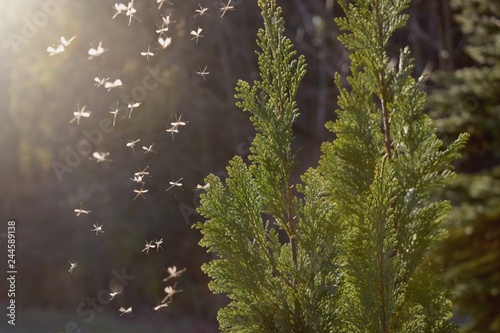 Mosquitos swarm flying in the forest - 244589138