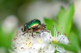 Beetle cetonia aurata sitting on flowers hawthorn