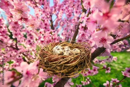 Leinwanddruck Bild Bird's nest with eggs in a blossoming tree