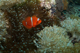 Red anemonefish in its host anemone
