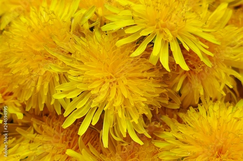 Yellow dandelion flower  macro background. Spring yellow flowers. Floral natural background - 244594995