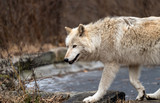 Wolf on the move across a small frozen pond.