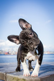 Fototapeta Psy - French bulldog puppy stands looking at the viewer with her head tilted. © Raindog Photography