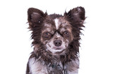 Wet Chihuahua dog isolated on white