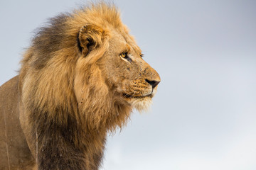 Portrait of a Big dominant male Lion in the rain - Kruger National Park - South Africa