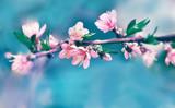 Delicate pink peach tree flower in spring garden.