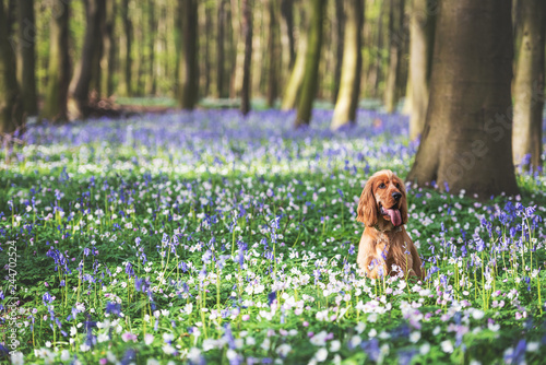 A cocker spaniel playing among bluebells in the woods