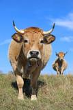 French Aubrac cows. Rural scene, auvergne, aveyron, france