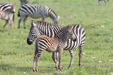 Fototapeta Fototapeta z zebrą - Common Zebra in the Serengeti National Park © Dennis Donohue