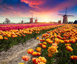 Leinwandbild Motiv Dramatic spring scene on the tulip farm. Colorful sunset in Netherlands, Europe.