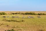Fototapeta Sawanna - Senics African savannah landscape with walking Zebras © Lars Johansson