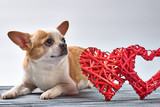 Red chihuahua dog on a wooden background in colored clothes with a toy red heart