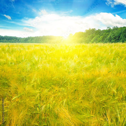 Beautiful wheat field and blue sky