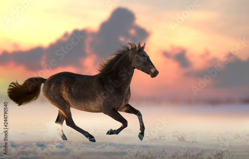 Brown horse run gallop on the snow