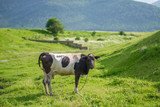 Black and white cows in a green grassy field.