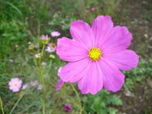"Постер, картина, фотообои ""pink flowers in garden"""
