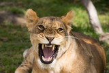 A lion being a little angry (Masai Mara)