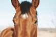 Cute brown horse looking at camera close up for farm animal portrait.  Western agriculture industry lifestyle for equine.