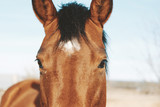 Fototapeta Fototapety z końmi - Cute brown horse looking at camera close up for farm animal portrait.  Western agriculture industry lifestyle for equine. © ccestep8