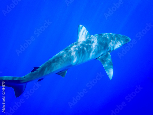 Leinwandbild Motiv Underwater Photo of a Shark Swimming in the Ocean - with Rays of Sunlight Shining Down from Above in the Caribbean
