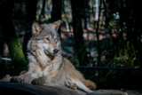 Grey wolf resting on a warm winter day at an animal sanctuary in Southern Oregon